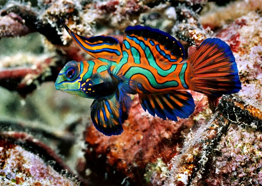 Click image for larger version  Name:mandarin-fish7.jpg Views:36 Size:268.3 KB ID:210815