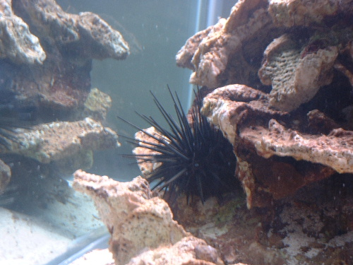 Click image for larger version  Name:urchin_225.jpg Views:44 Size:94.0 KB ID:213