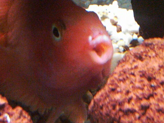 Red Parrot Cichlid - Columnaris/cotton mouth?? - Aquarium