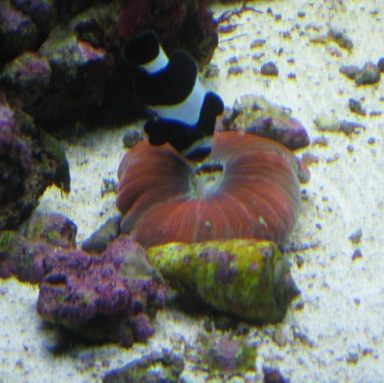 Click image for larger version  Name:clown looking for scraps with brain coral 01.jpg Views:30 Size:62.2 KB ID:22089