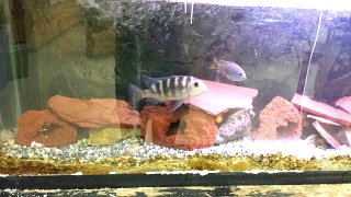 Click image for larger version  Name:Fish ID 1.jpg Views:52 Size:206.7 KB ID:222859