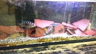 Click image for larger version  Name:Fish ID 2.jpg Views:62 Size:215.2 KB ID:222860