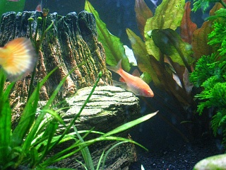 Click image for larger version  Name:Female Cherry Barb 1.jpg Views:131 Size:66.4 KB ID:22581
