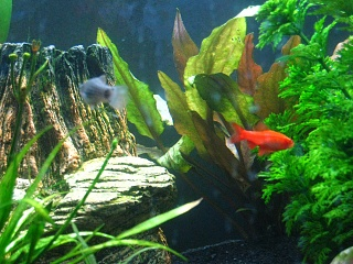 Click image for larger version  Name:Male Cherry Barb 1.jpg Views:132 Size:66.6 KB ID:22582