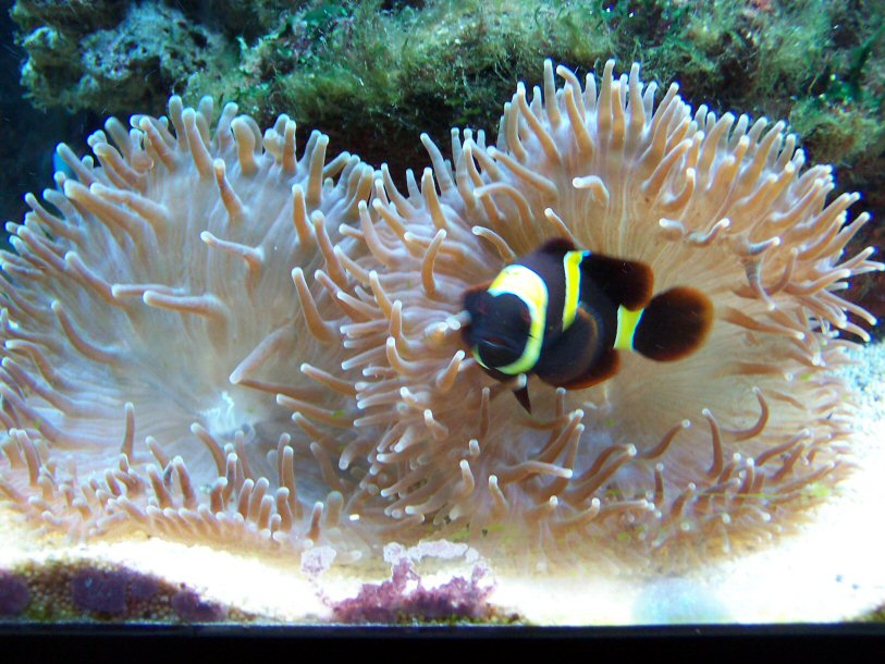 Click image for larger version  Name:clown_and_anenome.jpg Views:98 Size:128.2 KB ID:2279