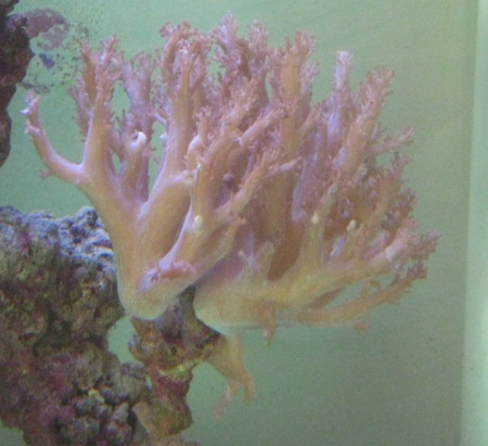 Click image for larger version  Name:coral sml.jpg Views:71 Size:60.6 KB ID:22905
