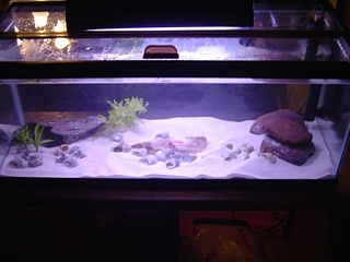 Click image for larger version  Name:Copy of multis cichlid tank.jpg Views:57 Size:40.5 KB ID:23005