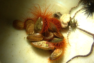 Click image for larger version  Name:mix (flame, urchin, cuc, serph) (1).jpg Views:36 Size:139.1 KB ID:230806