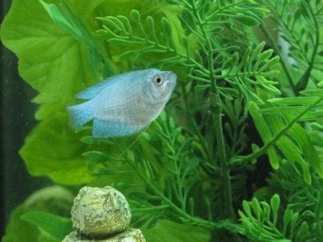 Click image for larger version  Name:Miette - Powder Blue Gourami - LARGE.jpg Views:52 Size:64.5 KB ID:23152