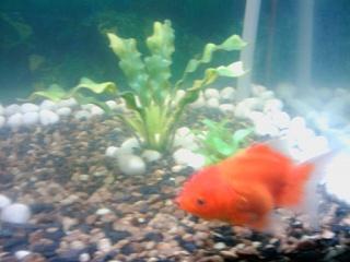 Click image for larger version  Name:oranda gold fisha.jpg Views:47 Size:40.8 KB ID:23751