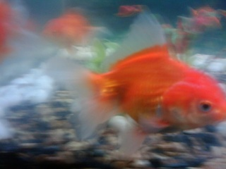 Click image for larger version  Name:oranda gold fishb.jpg Views:52 Size:27.6 KB ID:23752