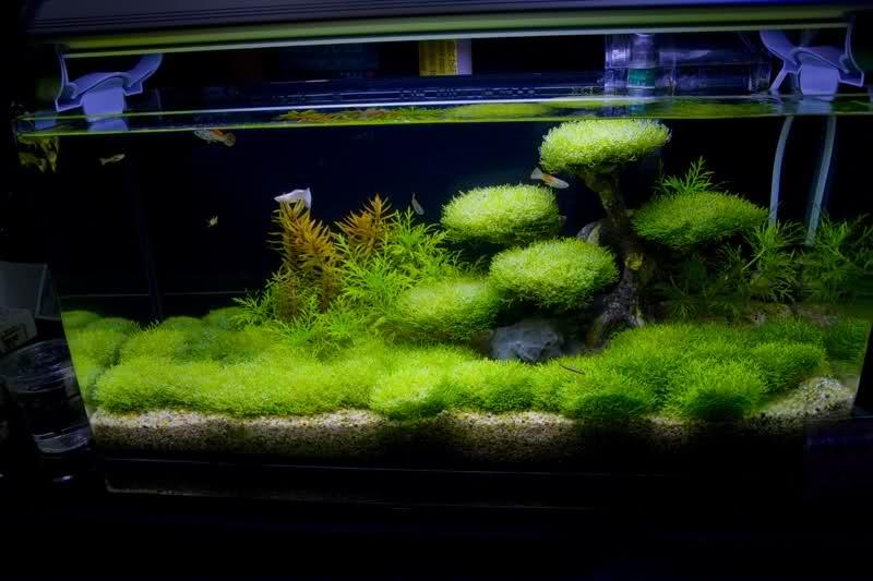 Christmas Moss Carpet.Java Moss Carpet Tank Taraba Home Review