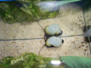 Click image for larger version  Name:snail2.jpg Views:54 Size:57.2 KB ID:24033