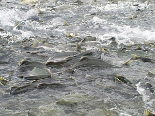 Click image for larger version  Name:salmon spawn.jpg Views:59 Size:68.2 KB ID:24035