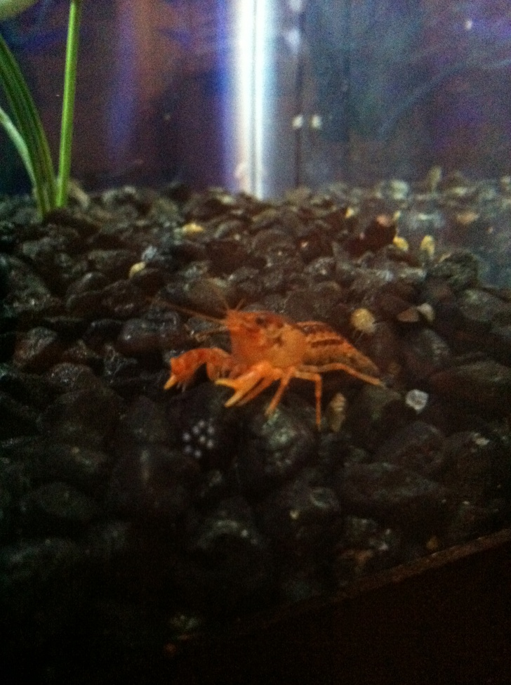 Click image for larger version  Name:Mexican Dwarf Cray.jpg Views:84 Size:249.5 KB ID:246153