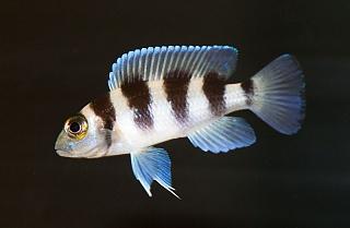 Click image for larger version  Name:Neolamprologus tretocephalus-1.jpg Views:51 Size:68.3 KB ID:248237