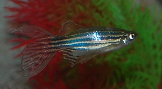 Click image for larger version  Name:Danio2.jpg Views:58 Size:114.4 KB ID:250163