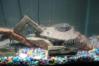 Click image for larger version  Name:aquarium pics 001.jpg Views:91 Size:203.2 KB ID:25028