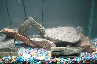 Click image for larger version  Name:aquarium pics 003.jpg Views:73 Size:206.5 KB ID:25029