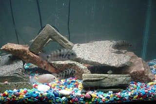 Click image for larger version  Name:aquarium pics 004.jpg Views:74 Size:205.7 KB ID:25030