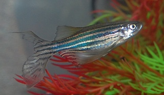 Click image for larger version  Name:Danio5-Thursday.jpg Views:35 Size:139.9 KB ID:250348