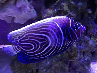 emperor angelfish changing - photo #39