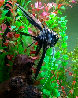 Click image for larger version  Name:UABSleeperSRNA Angelfish.jpg Views:163 Size:263.0 KB ID:251918