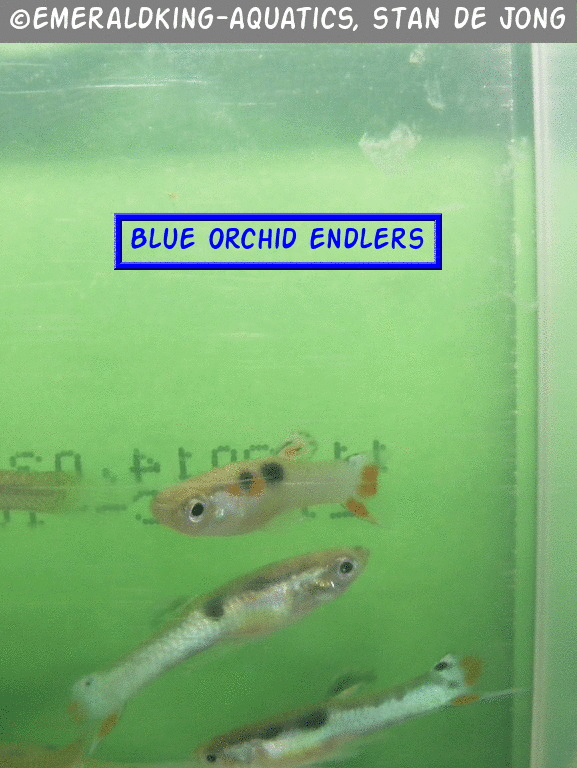 Click image for larger version  Name:fish stan ea2 031.jpg Views:80 Size:155.4 KB ID:262014