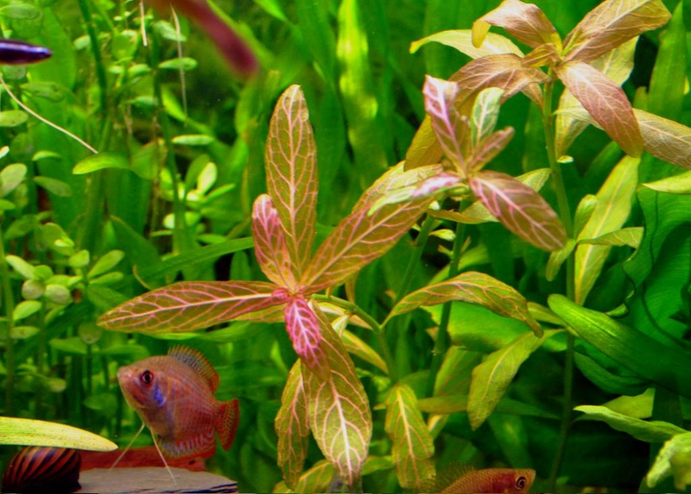 Click image for larger version  Name:Hygrophila polysperma Rosanervig.jpg Views:149 Size:236.6 KB ID:267835