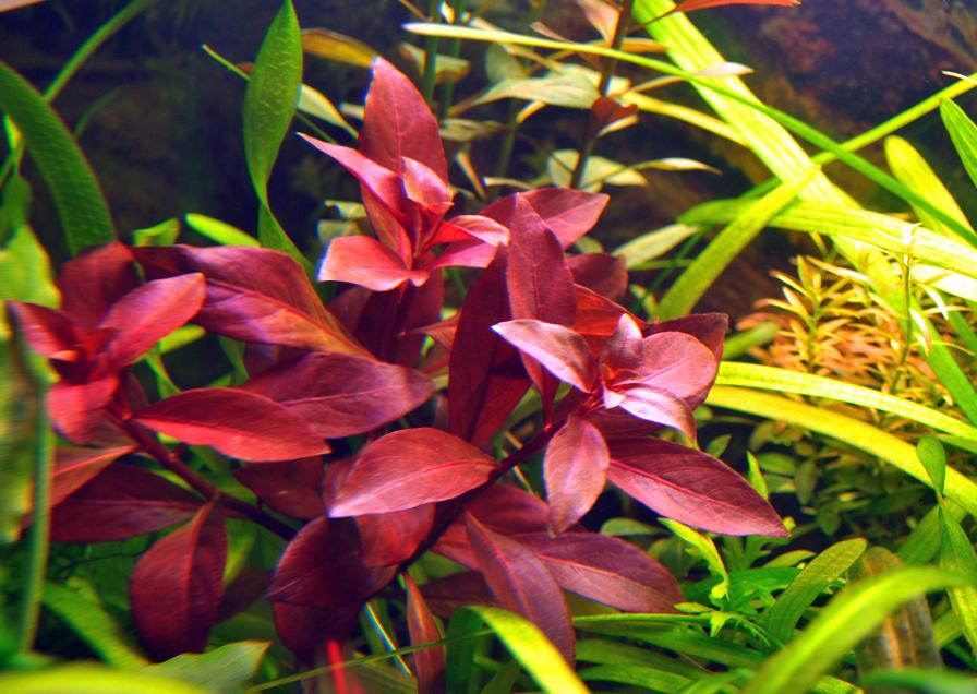 Click image for larger version  Name:Ludwigia repens Rubin.JPG Views:100 Size:108.7 KB ID:267836