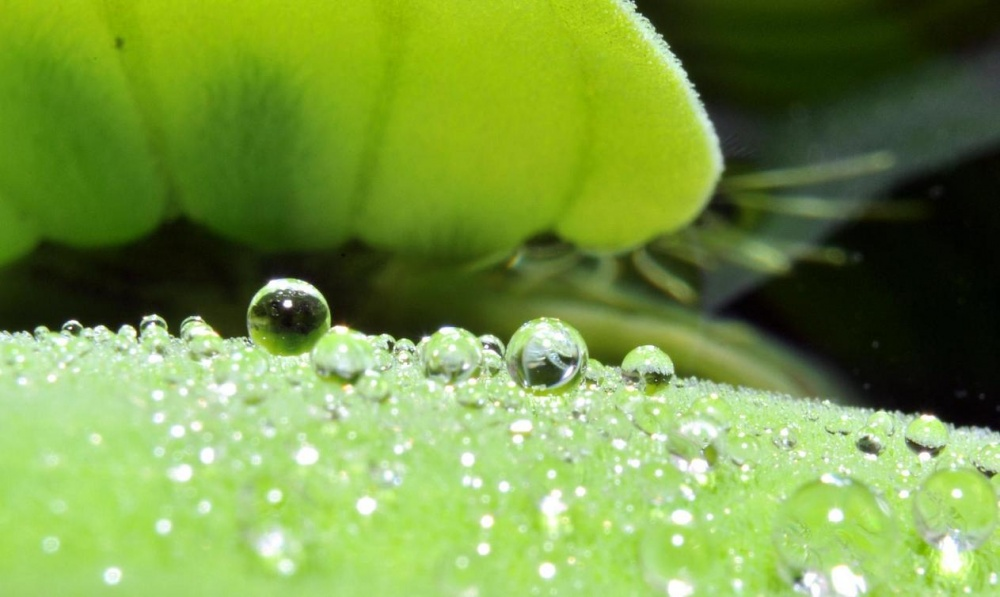 Click image for larger version  Name:Pistia rosa.jpg Views:95 Size:136.3 KB ID:267837