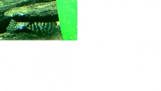 Click image for larger version  Name:pleco.jpg Views:73 Size:73.5 KB ID:27682