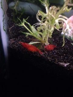 Click image for larger version  Name:Shrimps.jpg Views:197 Size:149.3 KB ID:280409