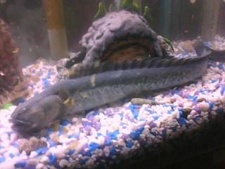 Dragon goby creating a mess aquarium advice aquarium for Dragon fish goby