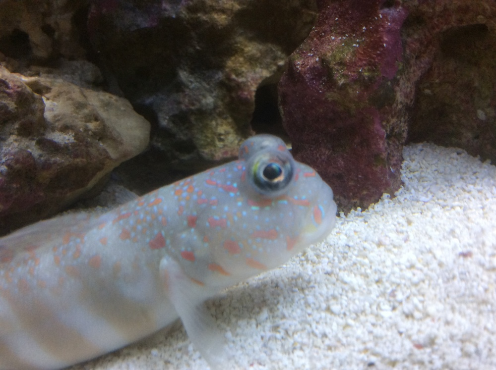 Click image for larger version  Name:goby2.jpg Views:39 Size:204.8 KB ID:283672