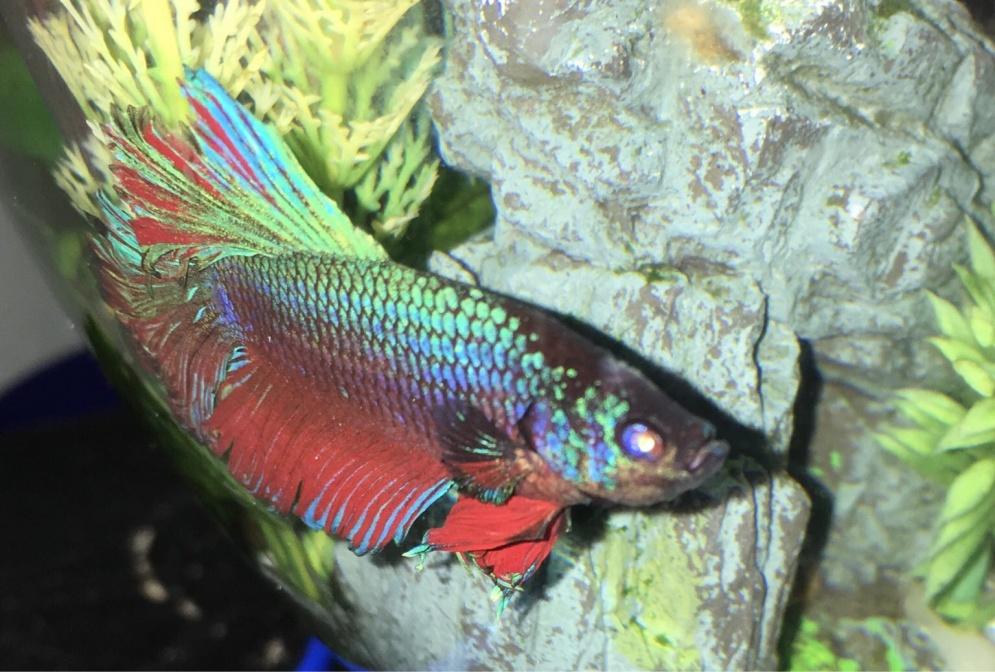 Betta missing scales? - Aquarium Advice - Aquarium Forum