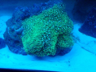 Click image for larger version  Name:Green Star Polyp.jpg Views:80 Size:204.8 KB ID:29219