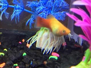 Are My Fish Bloated Aquarium Advice Aquarium Forum