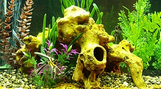 Click image for larger version  Name:Angelfish in 60g Tank.jpg Views:438 Size:219.0 KB ID:29430