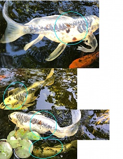 Click image for larger version  Name:Koi bloated with red spots.jpg Views:36 Size:60.9 KB ID:301539