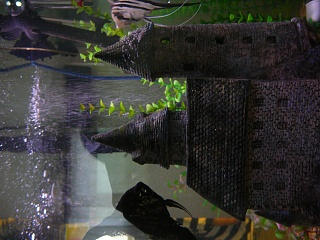 Click image for larger version  Name:Angelfish-1st_spawn 003.jpg Views:250 Size:205.6 KB ID:30170
