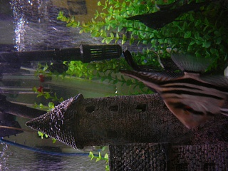 Click image for larger version  Name:Angelfish-1st_spawn 005.jpg Views:230 Size:204.9 KB ID:30172