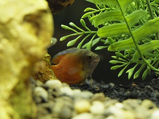 Click image for larger version  Name:Red Dwarf Gourami_3050237.jpg Views:240 Size:203.4 KB ID:30750