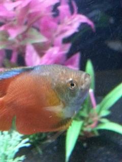 help white bump on dwarf gourami aquarium advice aquarium