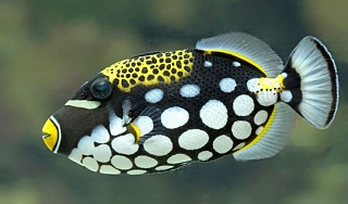 Click image for larger version  Name:83932794d5-shutterstock-282396185-close-up-view-of-a-clown-triggerfish-balistoides-conspicillum-.jpg Views:10 Size:36.5 KB ID:314423