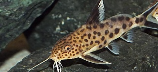 Click image for larger version  Name:cuckoo-synodontis-01.jpeg Views:31 Size:40.9 KB ID:314455