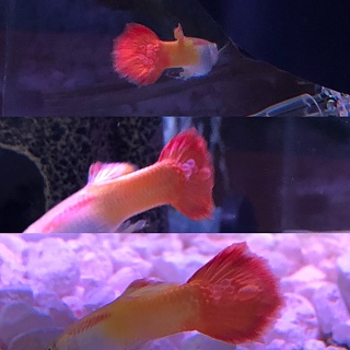 Click image for larger version  Name:Guppy Tail 4.jpg Views:14 Size:237.5 KB ID:315276