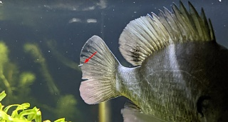 Click image for larger version  Name:Bluegill.jpg Views:16 Size:128.4 KB ID:321826