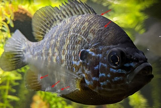 Click image for larger version  Name:Pumpkinseed.jpg Views:12 Size:188.1 KB ID:321827