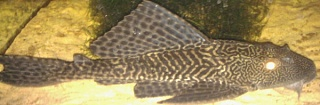Click image for larger version  Name:Pleco.jpg Views:106 Size:97.9 KB ID:32489